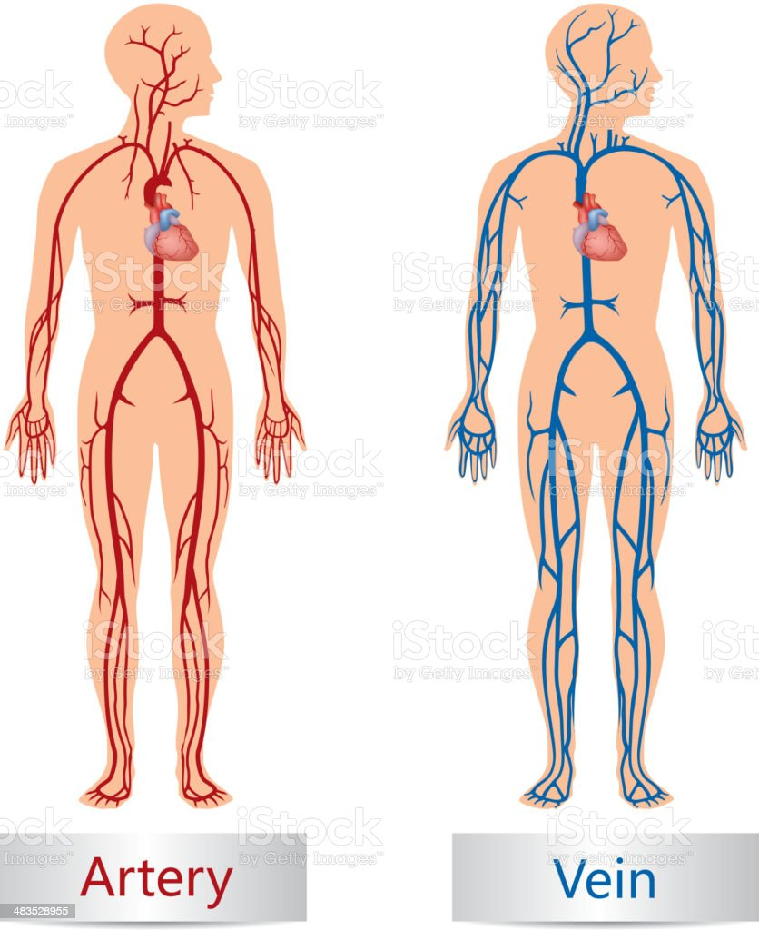 Artery and Vein royalty-free artery and vein stock vector art & more images of anatomy