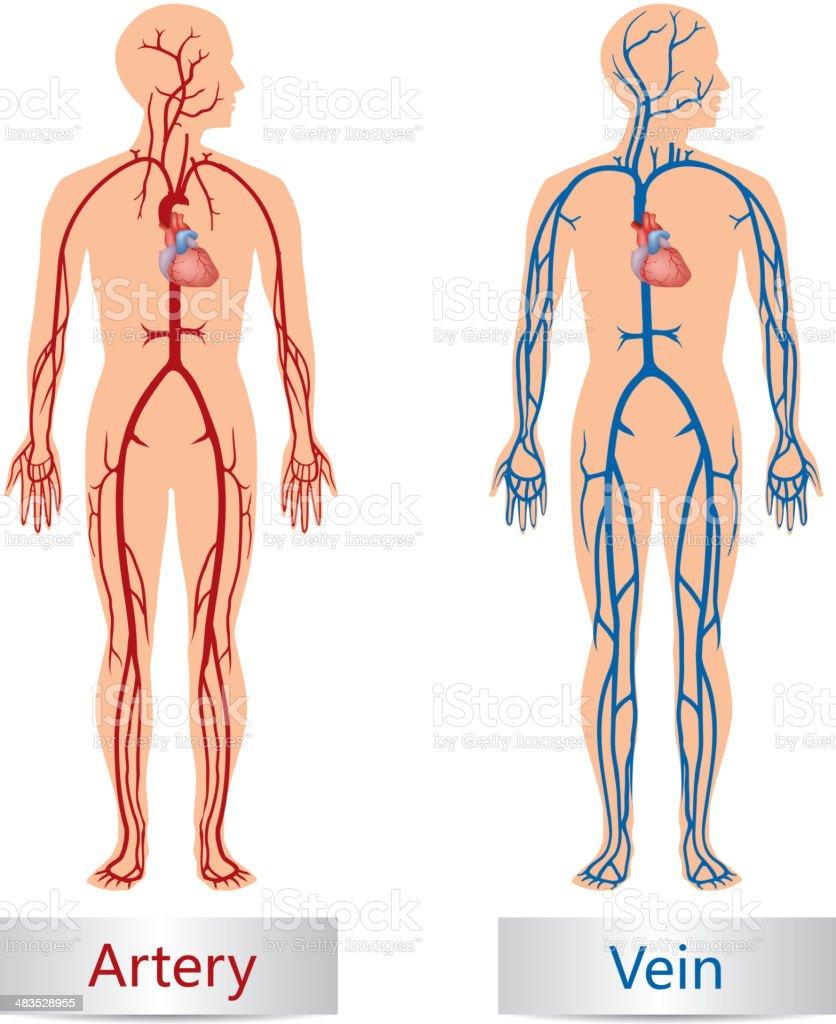 Artery and Vein vector art illustration