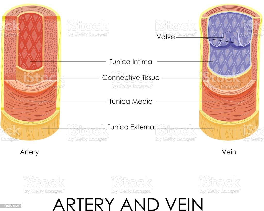 Arterie Und Vene Stock Vektor Art und mehr Bilder von Anatomie ...
