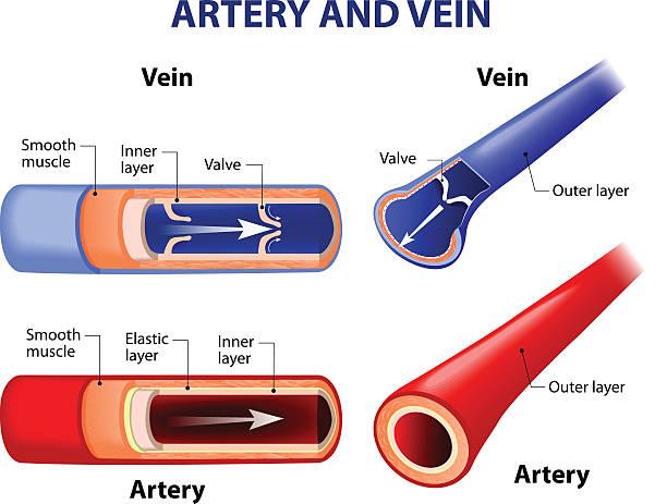 stockillustraties, clipart, cartoons en iconen met artery and vein. - bloedvat