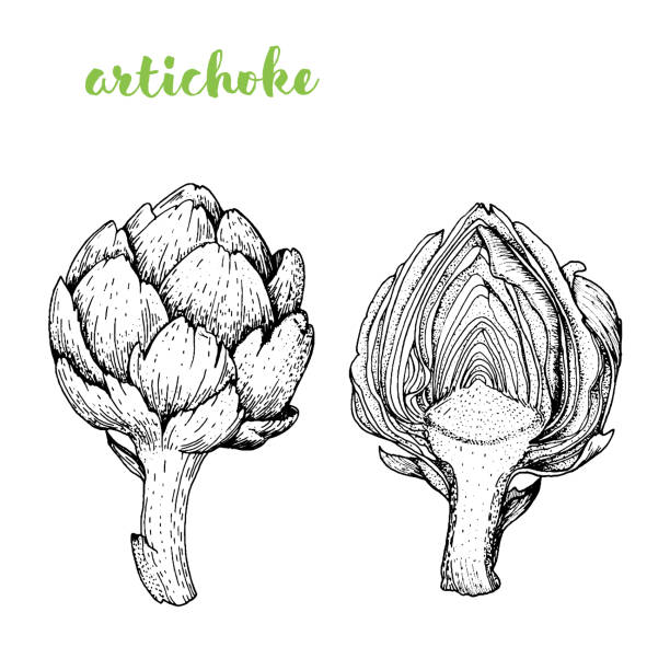 Artichoke vector illustration. Engraved image. Sketch food illustration. Vegetable hand drawn. Artichoke vector illustration. Engraved image. Sketch food illustration. Vegetable hand drawn. artichoke stock illustrations