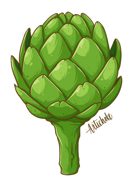 Artichoke vegetable Hand Drawing Artichoke fresh natural vegetable, hand drawn vector illustration isolated artichoke stock illustrations