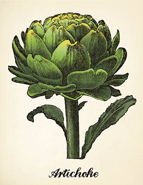 artichoke vintage illustration vector Artichoke vector image after vintage illustration from Brockhaus' Konversations-Lexikon, 14th edition, Leipzig 1896 artichoke stock illustrations