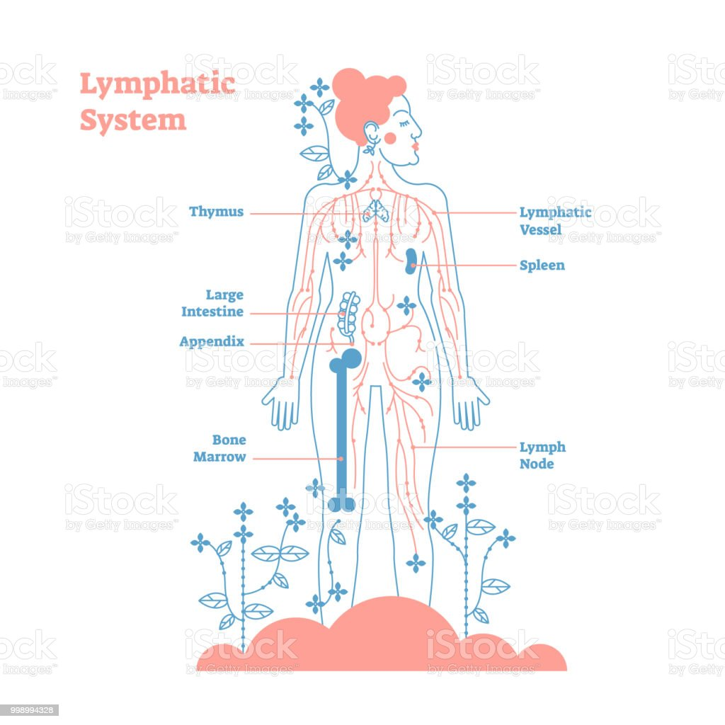 Artistic Lymphatic System Anatomical Vector Illustration Diagram