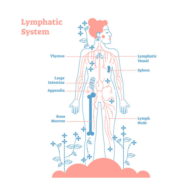 Artistic lymphatic system anatomical vector illustration diagram poster, decorative and elegant medical scheme with lymph nodes and tissue fluid circulation flow network. Artistic lymphatic system anatomical vector illustration diagram poster, decorative and elegant medical scheme with lymph nodes and tissue fluid circulation flow network.Stylized outline female design bone marrow tissue stock illustrations