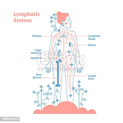 Artistic Lymphatic System Anatomical Vector Illustration Diagram ...