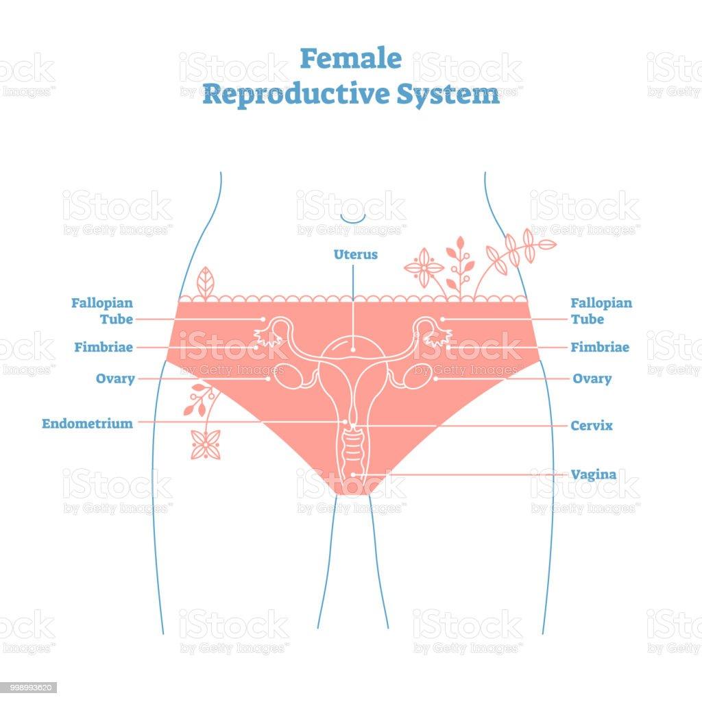 Ilustración de Sistema Reproductor Femenino Estilo Artístico Vector ...