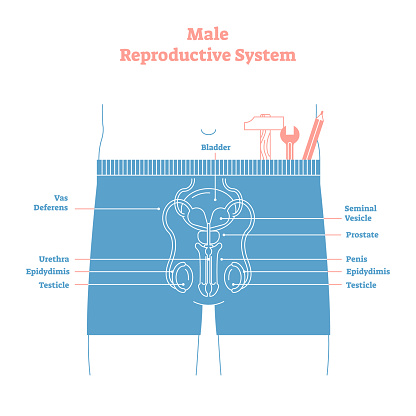 Artistic style male reproductive system vector illustration educational poster. Health and medicine labeled diagram,male sexual organ cross section.