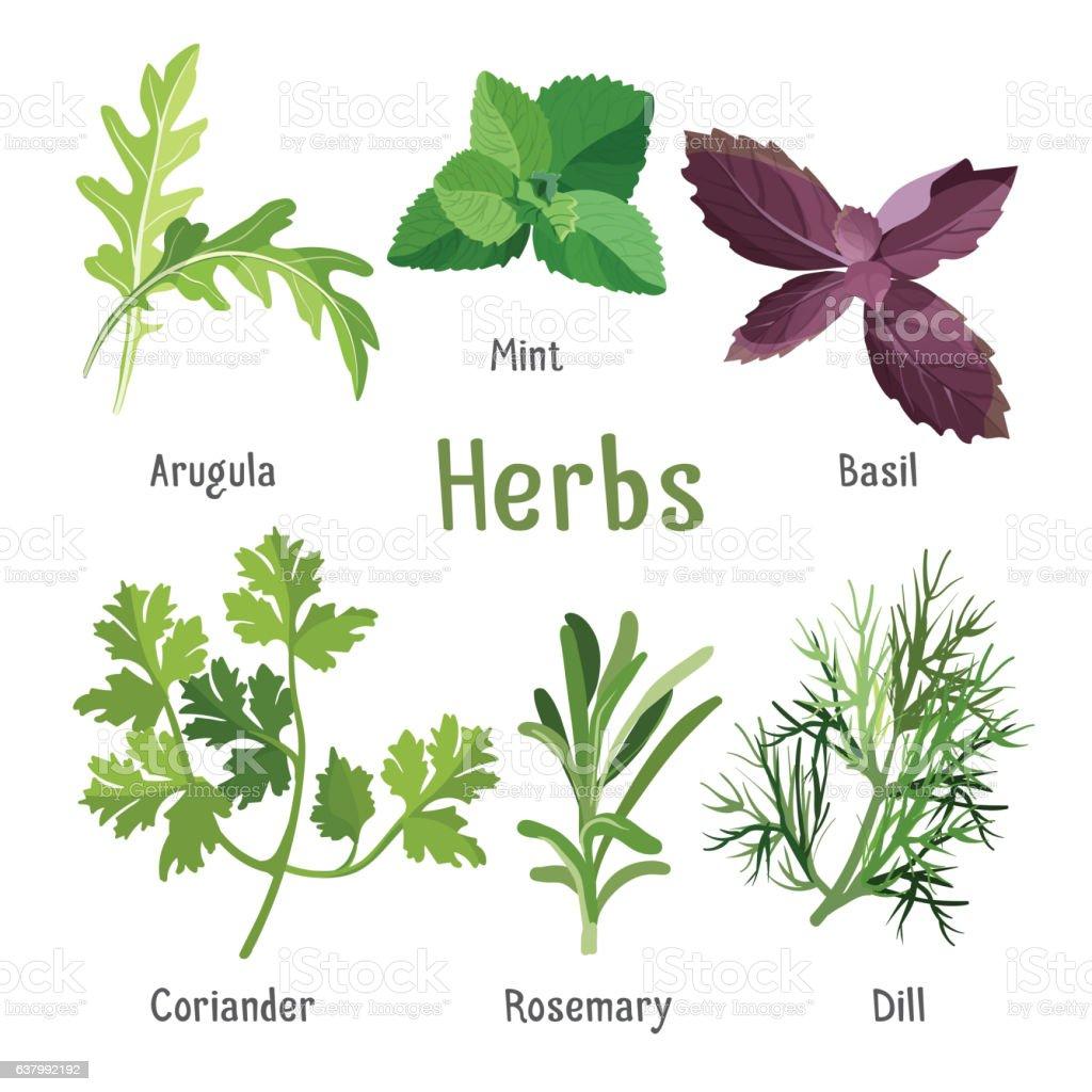 Arugula, fresh mint, purple basil, organic coriander, aromatic rosemary, dill vector art illustration