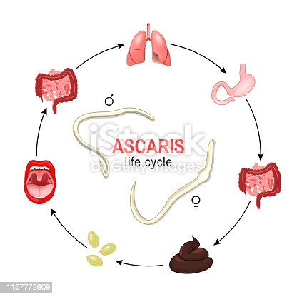 Ascaris. life cycle. Vector illustration of the most common human nematode infection. Worms grow and reproduction in human body, and production of eggs or larvae which are passed out via the faeces to the environment