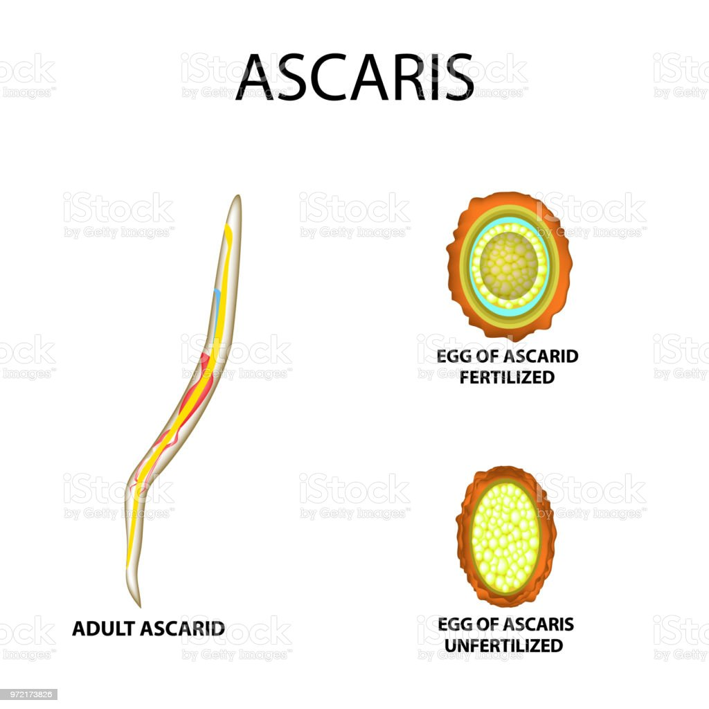 Ascaris The Structure Of An Adult Fertilized And