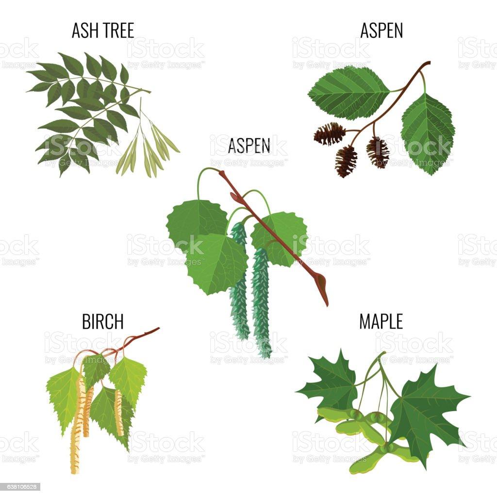 Ash tree leaves, aspen flowers, birch buds and maple keys vector art illustration