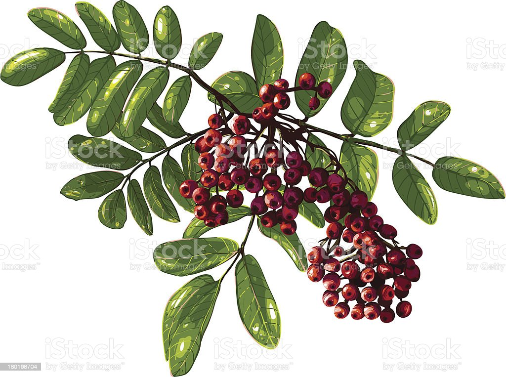 Ashberry Branch Composition with Berries and Leaves royalty-free stock vector art