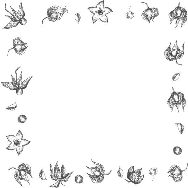 ashwagandha handgezeichnete rahmen rahmen muster mit beeren, lebt und zweig in schwarzer farbe auf weißem hintergrund. retro vintage grafik-design botanische skizze zeichnung - schlafbeere stock-grafiken, -clipart, -cartoons und -symbole