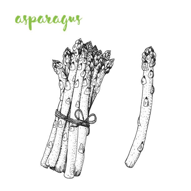 Asparagus vector illustration. Engraved image. Sketch food illustration. Vegetable hand drawn. Asparagus vector illustration. Engraved image. Sketch food illustration. Vegetable hand drawn. asparagus stock illustrations