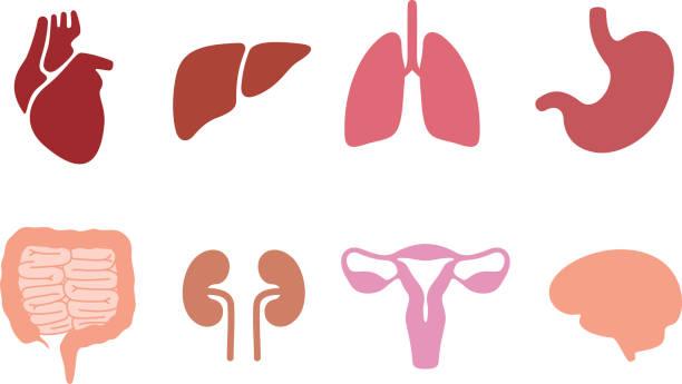 zestaw ikon narządów wewnętrznych, wektor - ludzkie części ciała stock illustrations