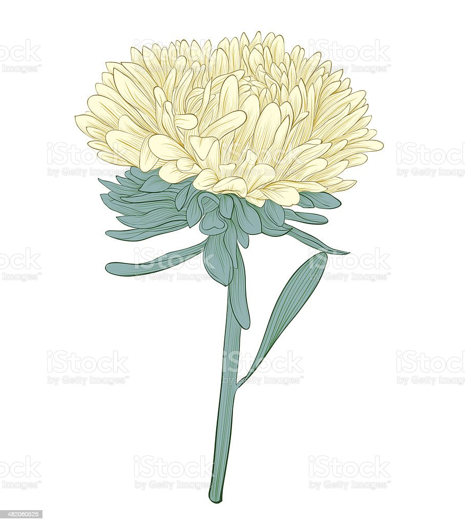 aster flower isolated on white background royalty-free stock vector art