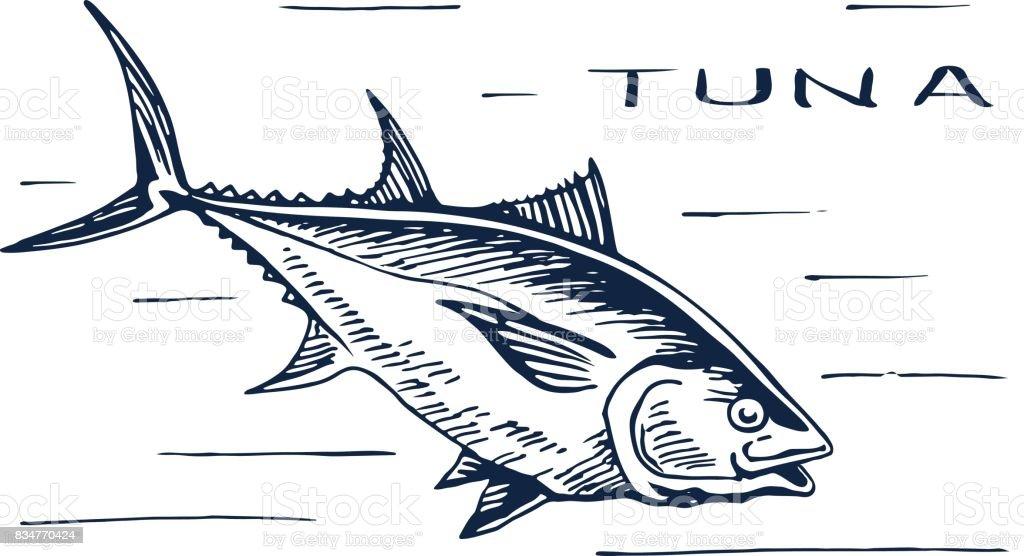 Atlantic bluefin tuna for sushi vector art illustration