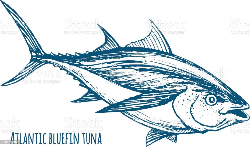 Atlantic bluefin tuna vector art illustration
