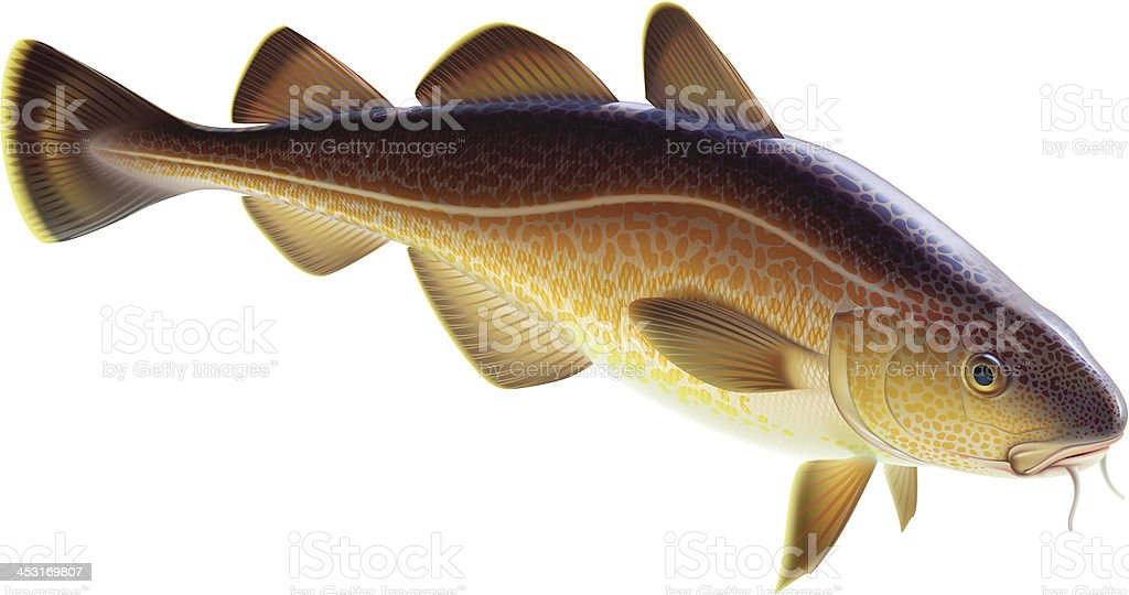 Atlantic cod royalty-free stock vector art