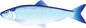 Atlantic Herring Fish