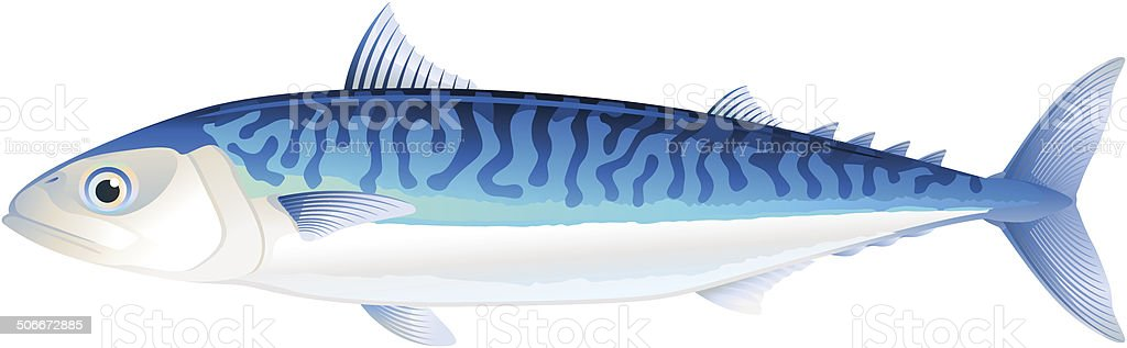 Atlantic mackerel vector art illustration