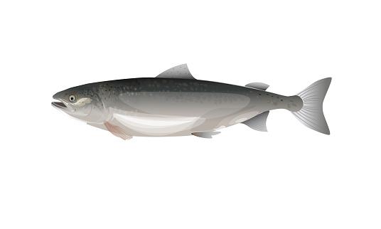 Atlantic salmon isolated on white background. Vector illustration