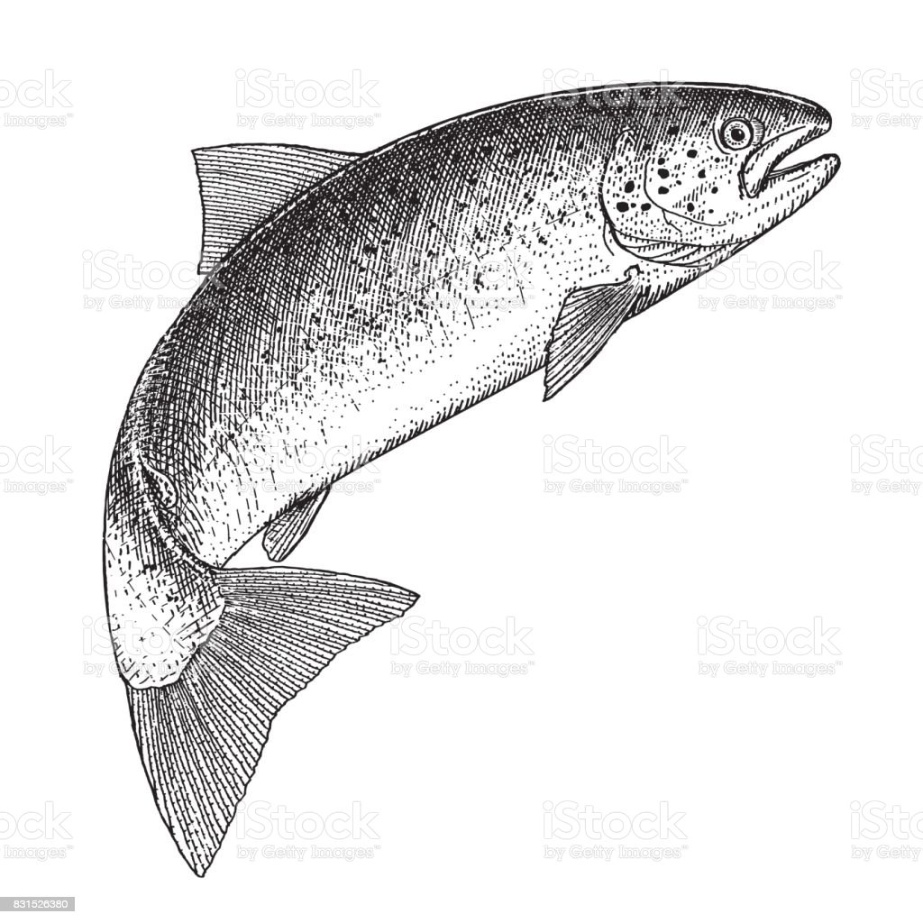 Atlantic Salmon vector art illustration