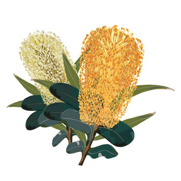 Australian Yellow Banksia Flower Vector Illustration Australian Realistic Yellow Banksia Flowers isolated on a white background australian culture stock illustrations