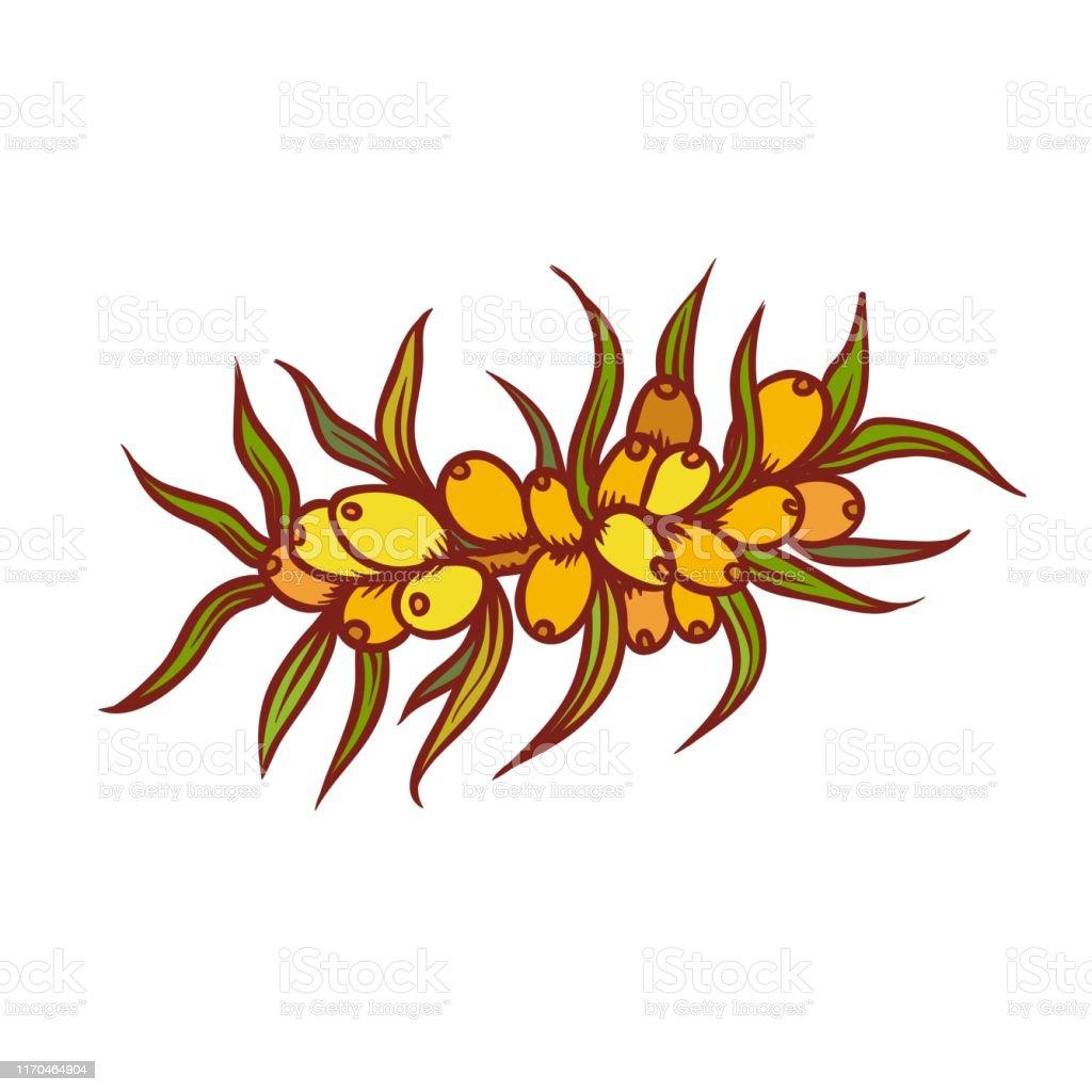 秋の束野生の果実の海のバックソーン9月または10月の季節の収穫ベクトルアウトラインイラストスケッチカラフルな孤立した秋の植物学のグラフィックス アイコンのベクターアート素材や画像を多数ご用意 Istock