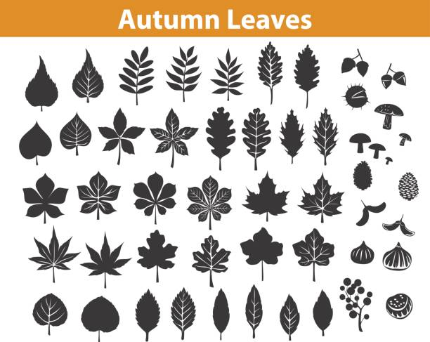 illustrazioni stock, clip art, cartoni animati e icone di tendenza di autumn fall leaves silhouettes set in black color, maple chestnut ash oak birch gum beech walnut rowan elm trees foliage. leafs are included as art brushes in library - foglie
