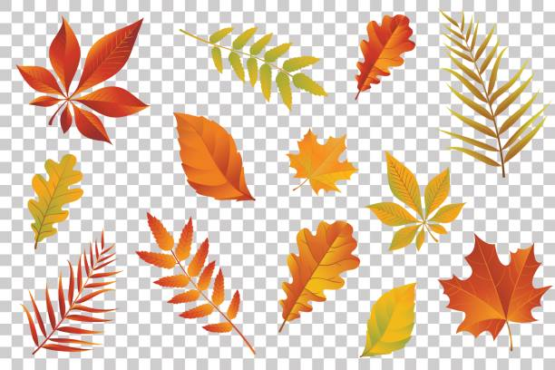 illustrazioni stock, clip art, cartoni animati e icone di tendenza di autumn falling leaves isolated on transparent background. vector illustration. - foglie