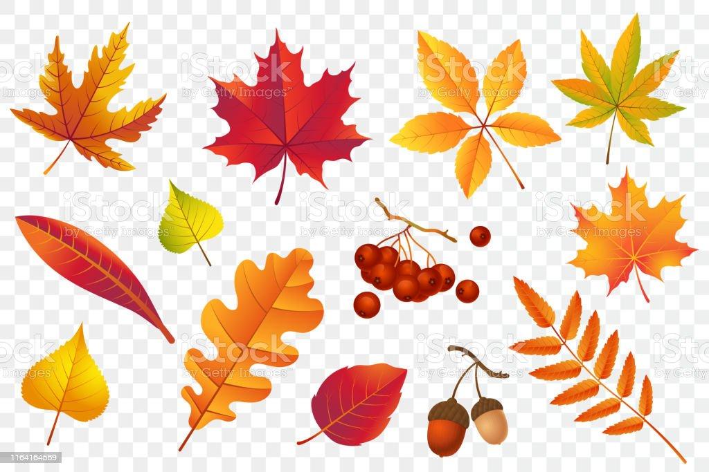 Autumn vallende bladeren geïsoleerd op transparante achtergrond. Gele gebladerte collectie. Rowan, eik, esdoorn, berken en eikels. Kleurrijke herfst blad set. Vector illustratie. - Royalty-free Berk vectorkunst