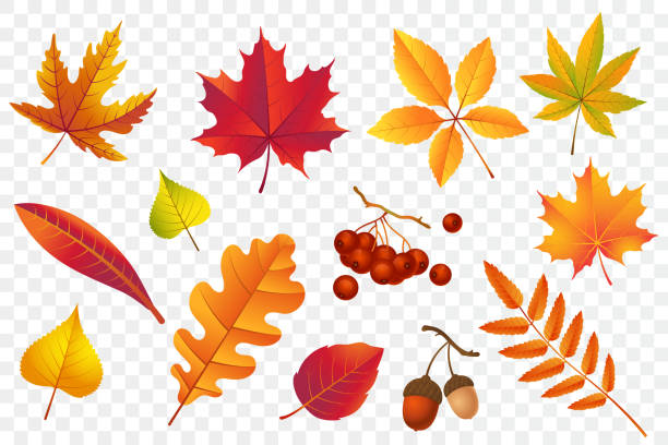autumn falling leaves isolated on transparent background. yellow foliage collection. rowan,oak, maple, birch and acorns. colorful autumn leaf set. vector illustration. - autumn stock illustrations