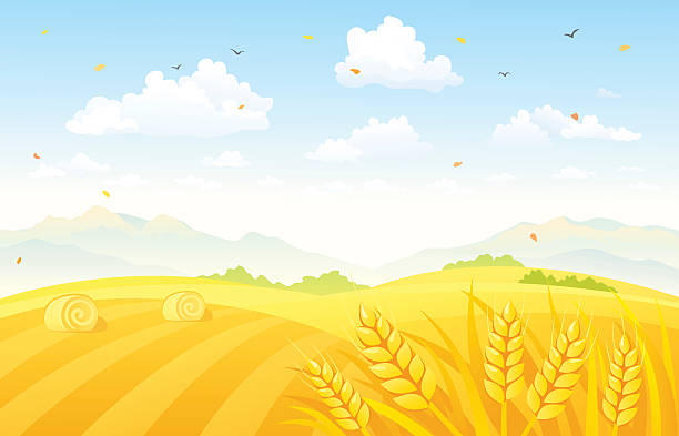 Autumn fields background Vector illustration of a beautiful autumn background with wheat fields. RGB colors. corn crop stock illustrations