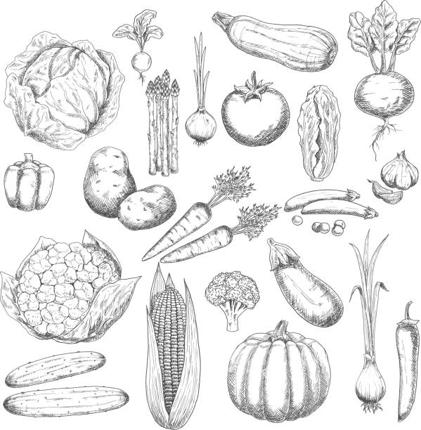 Autumn harvest sketch symbol with fresh vegetables Healthy and fresh cabbages peppers onions broccoli tomato potatoes garlic cucumbers beetroot carrots pumpkin corn eggplant asparagus peas zucchini and radish vegetables radish stock illustrations