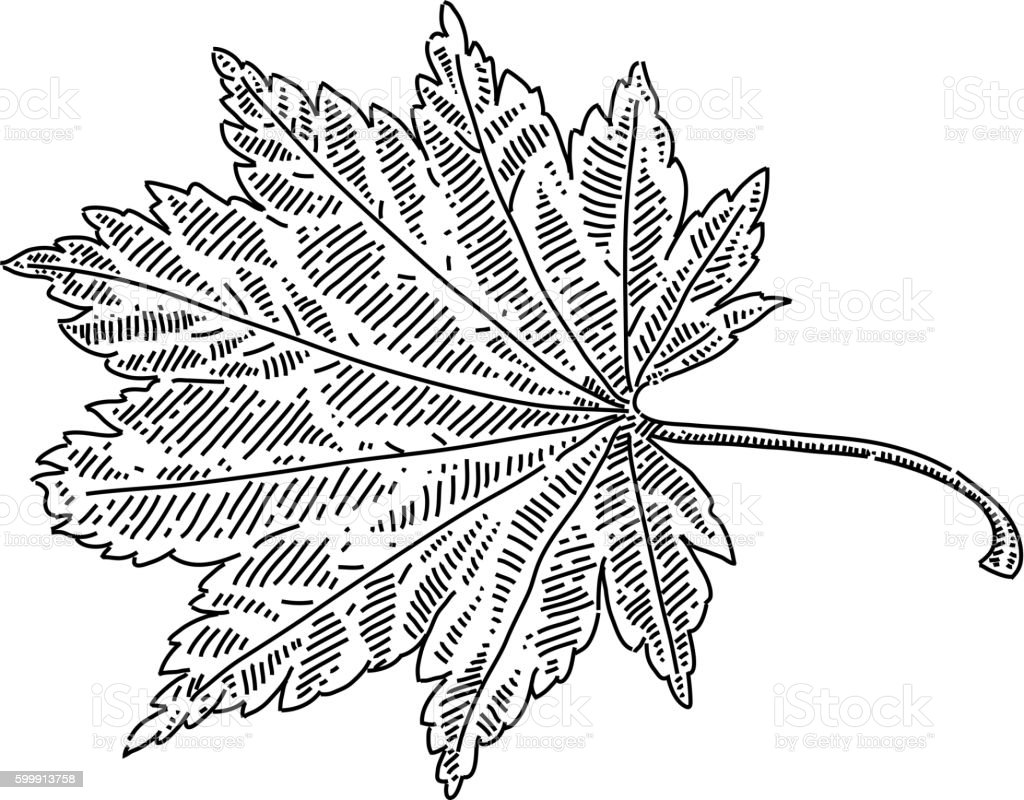 Autumn leaf drawing autumn leaf drawing cliparts vectoriels et plus dimages de automne