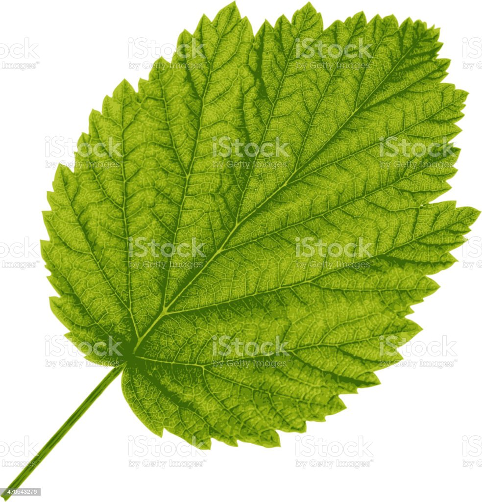 Autumn  leaf  on white background. vector art illustration