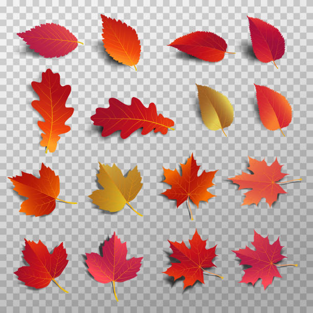 illustrazioni stock, clip art, cartoni animati e icone di tendenza di autumn leaf pack. realistic leave fall with shadow. maple leaf for decorate promotion banner and printing design. vector illustration. - foglie