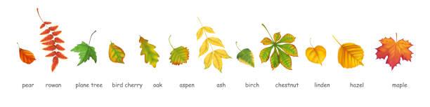 Herbstblätter verschiedener Bäume realistisch – Vektorgrafik