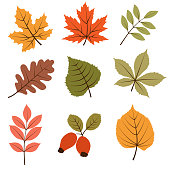 Autumn leaves collection isolated on white background, vector format