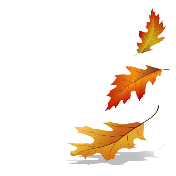 Autumn leaves falling Colorful oak tree leaves isolated on white background. Vector illustration autumn leaf color stock illustrations