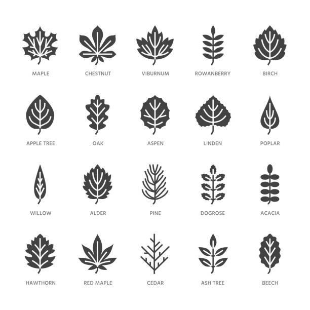 Autumn leaves flat glyph icons. Leaf types, rowan, birch tree, maple, chestnut, oak, cedar pine, linden, guelder rose. Signs of nature plants Solid silhouette pixel perfect 64x64 Autumn leaves flat glyph icons. Leaf types, rowan, birch tree, maple, chestnut, oak, cedar pine, linden, guelder rose. Signs of nature plants Solid silhouette pixel perfect 64x64. oak leaf stock illustrations