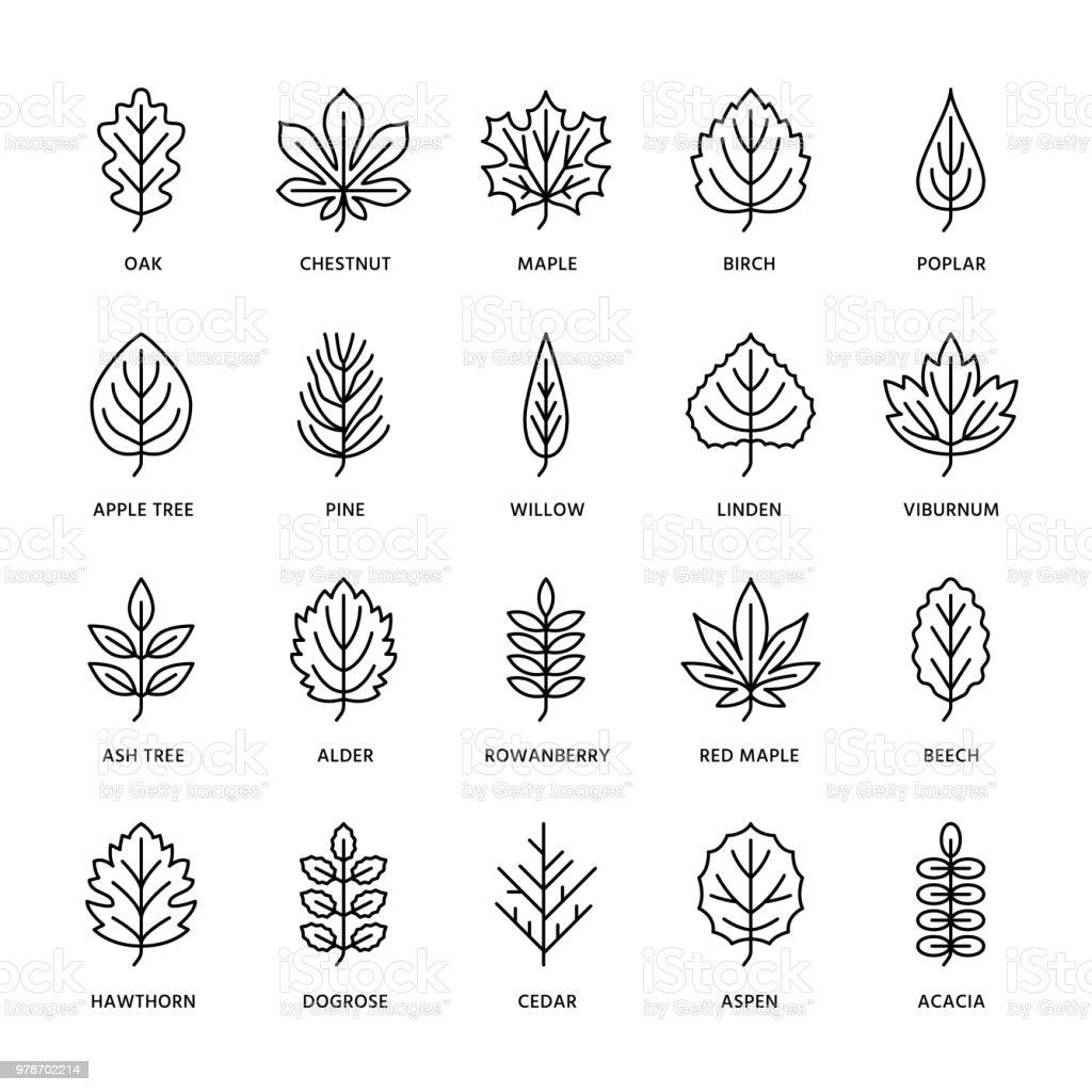 Autumn Leaves Flat Line Icons Leaf Types Rowan Birch Tree Maple