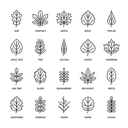 Autumn leaves flat line icons. Leaf types, rowan, birch tree, maple, chestnut, oak, cedar pine, linden,guelder rose. Thin signs of nature, plants. Editable Strokes
