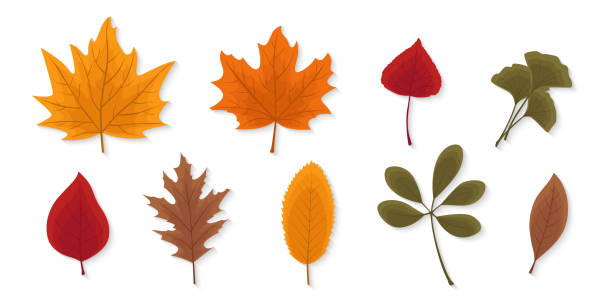 autumn leaves set isolated on white background. seasonal collection. beautiful red, yellow and brown leaves. modern realistic design. flat style vector illustration. - leaves stock illustrations