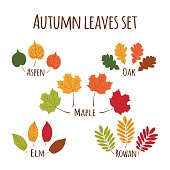Autumn leaves set vector. Fall leaf icons isolated on white background. Oak, maple, rowan, elm and aspen tree leaves in all autumnal colors – green, yellow gold, orange, red and brown.
