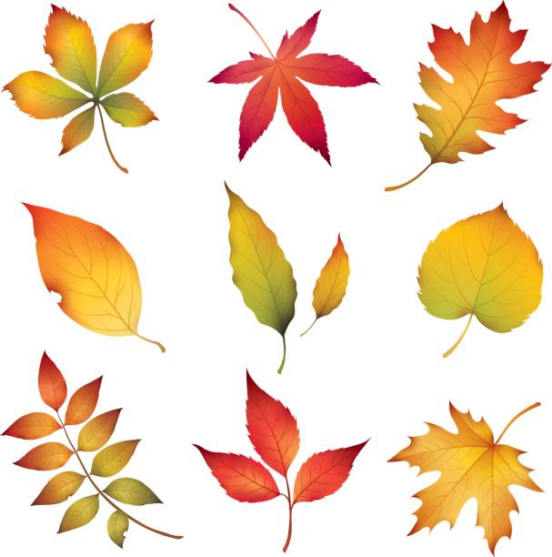 illustrazioni stock, clip art, cartoni animati e icone di tendenza di autumn leaves - foglie
