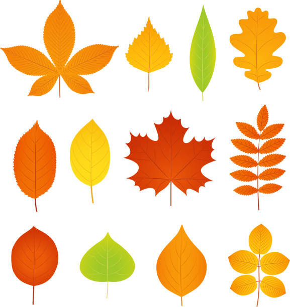 Autumn leaves. Vector. Set of symbols of fall leaf. Autumn leaves. Vector. Fall leaf symbol. Set leaves from different kind of trees isolated on white background. Natural colorful cartoon flat style illustration. autumn clipart stock illustrations