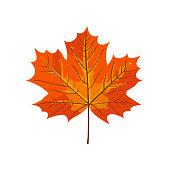 Autumn maple leaf. Fall illustration.